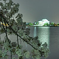 Cherry Blossoms 2013 - 102 by Metro DC Photography