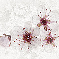 Cherry Blossoms Close Up by Elena Elisseeva