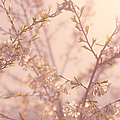Cherry Blossoms by Diane Diederich