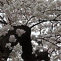 Cherry Blossoms - Washington Dc - 0113114 by DC Photographer