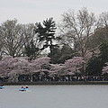 Cherry Blossoms - Washington Dc - 011317 by DC Photographer