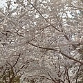 Cherry Blossoms - Washington Dc - 011363 by DC Photographer