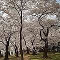 Cherry Blossoms - Washington Dc - 011378 by DC Photographer
