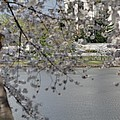 Cherry Blossoms With Jefferson Memorial - Washington Dc - 011336 by DC Photographer
