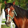 Chestnut Horse by Jelena Jovanovic