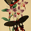 Chinese Butterflies Print by Philip Ralley
