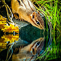 Chipmunk Reflection by Bob Orsillo