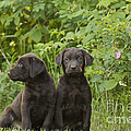 Chocolate Labrador Retriever Puppies Print by Linda Freshwaters Arndt
