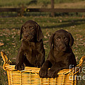 Chocolate Labrador Retriever Pups by Linda Freshwaters Arndt