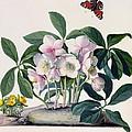 Christmas Rose by Georg Dionysius Ehret