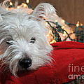 Christmas Westie Poster by Catherine Reusch  Daley