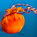Close Up Of A Sea Nettle Jellyfis by Eti Reid