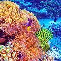 Clown Fish In Coral Garden by Anna Omelchenko