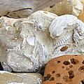 Coastal Shell Fossil Art Prints Rocks Beach by Baslee Troutman