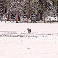 Colorado Coyote Play Print by Janice Rae Pariza