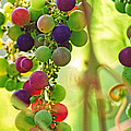 Colorful Grapes by Peggy Collins