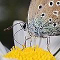 Common Blue Butterfly by Science Photo Library
