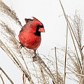 Common Northern Cardinal Square by Bill Wakeley