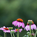 Coneflower by Kay Pickens