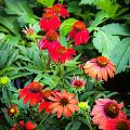 Coneflowers Echinacea Rudbeckia by Rich Franco