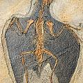 Confuciusornis Fossil by Millard H Sharp