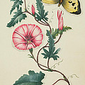 Convolvulus with Yellow Butterfly Print by English School