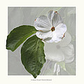 Cornus 'eddie's White Wonder' by Saxon Holt