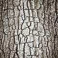 Cottonwood Bark 1 by Marilyn Hunt