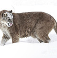 Cougar On A Winter Prowl by Inspired Nature Photography Fine Art Photography