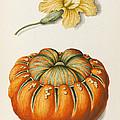 Courgette And A Pumpkin by Joseph Jacob Plenck