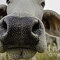 Cow Nose Print by Cindy Bryant