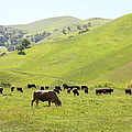 Cows Along The Rolling Hills Landscape Of The Black Diamond Mines In Antioch California 5d22328 by Wingsdomain Art and Photography