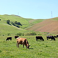 Cows Along The Rolling Hills Landscape Of The Black Diamond Mines In Antioch California 5d22355 by Wingsdomain Art and Photography