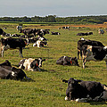 Cows At Work 1 by Odd Jeppesen