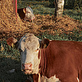 Cows At Work 2 by Odd Jeppesen