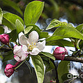 Crab Apple Blossom