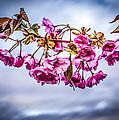 Crab Apple Tree by Bob Orsillo