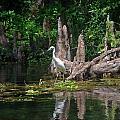 Crystal River Egret by Skip Willits