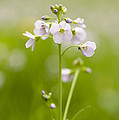 Cuckooflower by Anne Gilbert