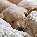 Cuddling Labrador Retriever Puppy by Jennie Marie Schell