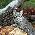 Curious Bobcat  by Jean Clark