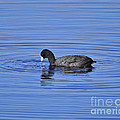 Cute Coot by Al Powell Photography USA