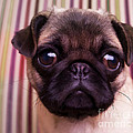 Cute Pug Puppy by Edward Fielding