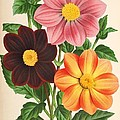Dahlia Coccinea From A Begian Book Of Flora. by Philip Ralley