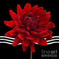 Dahlia Flower And Wavy Lines Triptych Canvas 2 - Red by Natalie Kinnear