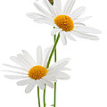Daisies On White Background by Elena Elisseeva