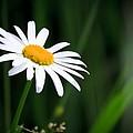 Daisy - Bellis Perennis by Bob Orsillo
