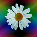Daisy Bloom In Neon Rainbow Lights by ImagesAsArt Photos And Graphics