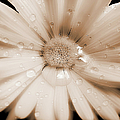Daisy Dream Raindrops Sepia by Jennie Marie Schell