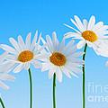 Daisy flowers on blue background Print by Elena Elisseeva